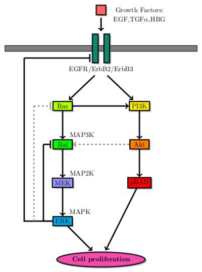 MAPK pathway