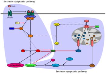 scheme of TRAIL pathway